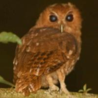 species-Megascops-ingens-3